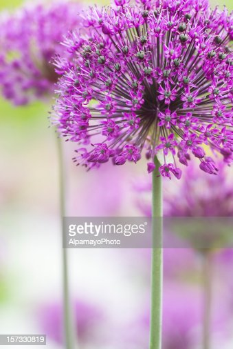 in focus shot a pretty purple flower stock photo  getty images, Beautiful flower