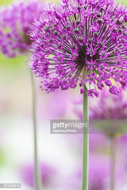 In focus shot a pretty purple flower