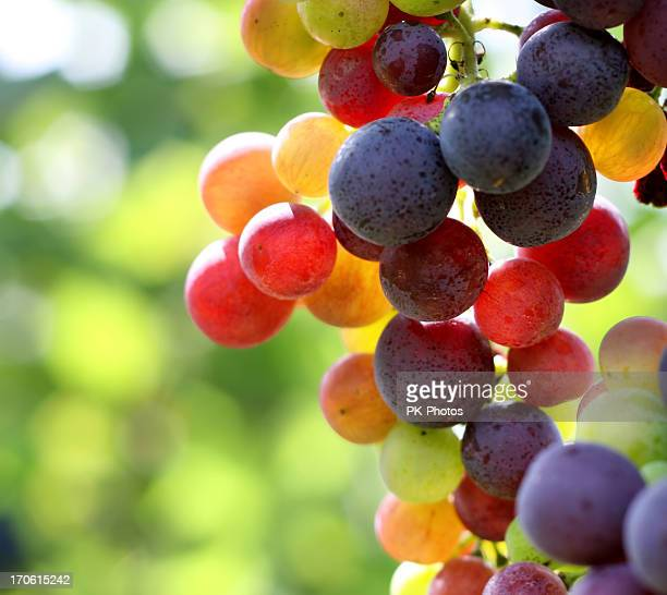 In focus shot of ripe grapes in a vineyard