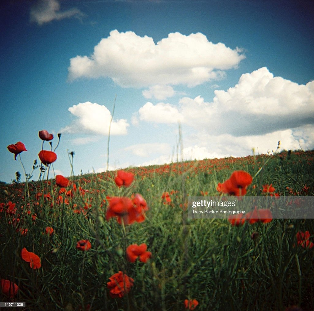 In midst of dreamy summer poppy field : Stock Photo