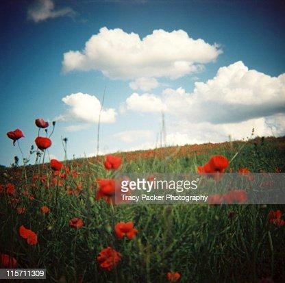 In midst of dreamy summer poppy field : ストックフォト