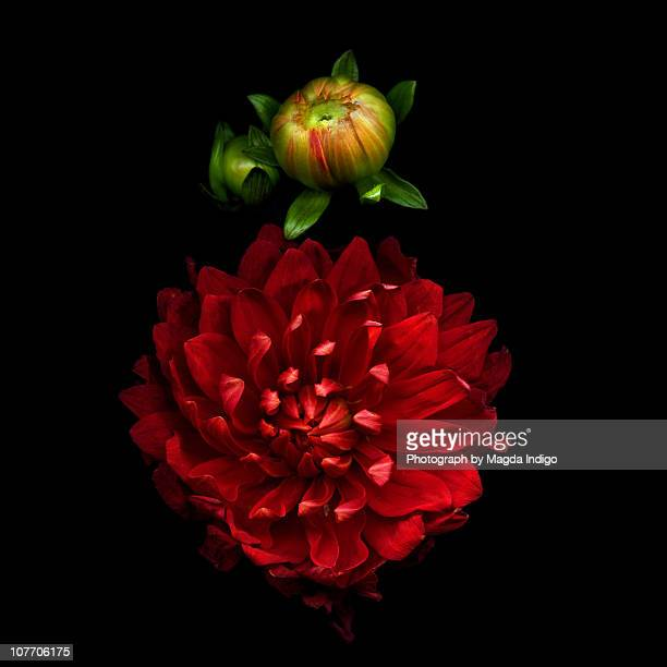 PASSIONATA in RED, Dahlia and buds
