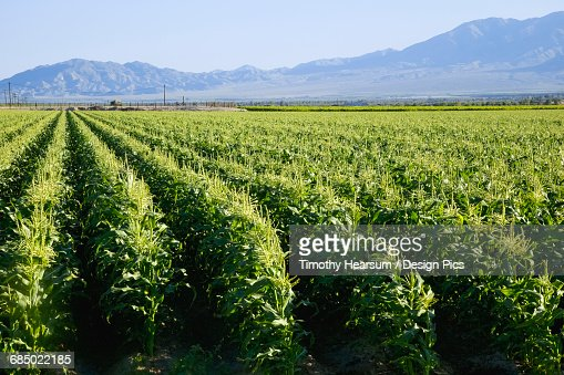 In Southern Californias Coachella Valley, rows of corn are just beginning to form tassles in early spring, mountains and blue sky in the background : Stock Photo