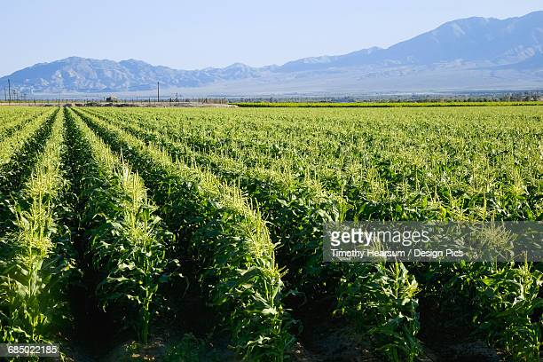 In Southern Californias Coachella Valley, rows of corn are just beginning to form tassles in early spring, mountains and blue sky in the background