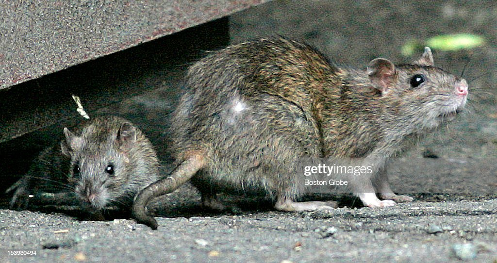 In the Fenway Complaints about Norway rats with small ears sharp claws and long tail have doubled Adult and juvenile rat emerge from under dumpster