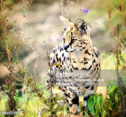 In the Flowers - Serval Cat in the Wild at Ngorongoro Crater, Tanzania