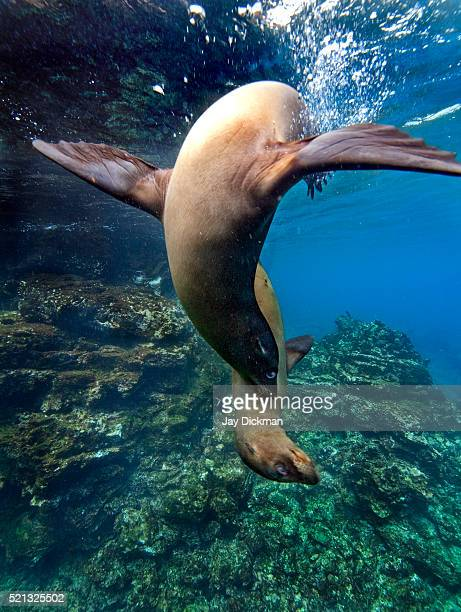 In the Galapagos Islands of Ecuador, sea lions (Zalophus wollebaeki) play in front of the camera.