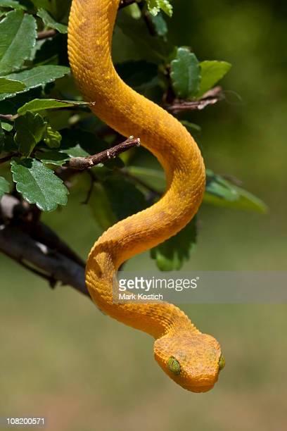 In the Garden of Eden - Juvenile Green Bush Viper
