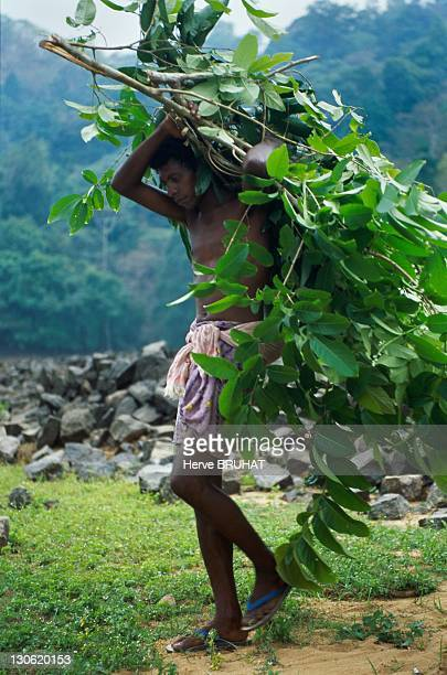 In the jungle covering western Ghats native tribes collect medicinal plants that will be marketed in the plain Most of them are picked up during the...