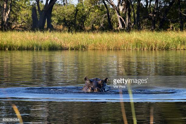 In the Okavango Delta inhabit lot of hippos visible during the aquatic safari camp in Eagle Island Camp by Orient Expressoutside the Moremi Game...