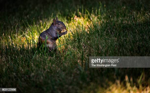 In the spotlight a Black Squirrel munches on tree nuts on the grounds of the Old Soldier's Home Golf Course in Washington DC on June 28 2017