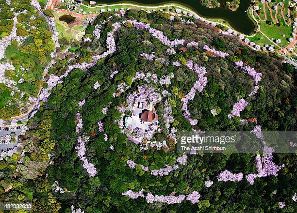 In this aerial image fully bloomed cherry blossoms form a spiral at Konpira san in the Chuo Park on April 2 2014 in Kitakyushu Fukuoka Japan The...