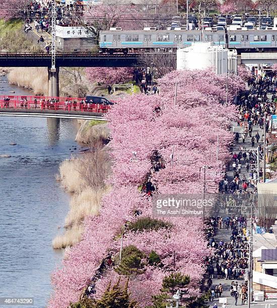 In this aerial image people enjoy fully bloomed Kawazu Zakura cherry blossoms at the banks of Kawazu River on February 28 2015 in Kawazu Shizuoka...