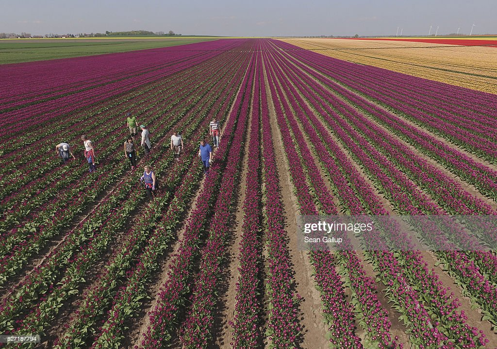 Workers pluck the remaining flower heads off tulips after a special cutting machine had passed over the rows at the Degenhardt-Sellmann Spezialkulturen tulip fields near Magdeburg on May 2, 2016 in Schwaneberg, Germany. Removing the flowers leads the tulip plant to put more nutrients into its bulb. The company cultivates up to 10 different strains of tulips on 40 hectares of land to harvest not the flowers but the bulbs.