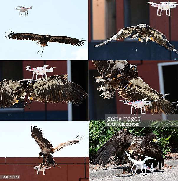 In this combo image a young eagle trained to catch drones displays its skills during a demonstration organized by the Dutch police as part of a...