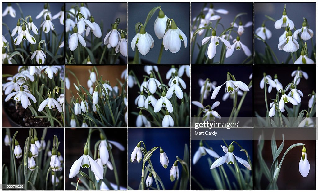 In this composite image are various varieties of snowdrops displayed as part Shaftesbury Snowdrops Heritage Collection at Shaftesbury Abbey at the Snowdrop Festival, on February 17, 2015 in Shaftesbury, England. The town of Shaftesbury is currently holding a snowdrop festival, which in a series of events marks the arrival of one the UK's most popular flowers which is seen by many as an indicator of the arrival of spring.