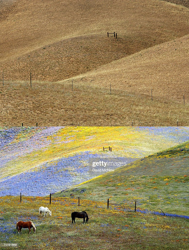 In this composite image, desiccated hillside recovers from wildfires (top) on May 18, 2007 near Gorman, California, 60 miles north of Los Angeles, in stark contrast to a dramatic bloom of wildflowers blanketing the landscape in the photo (bottom) taken on April 28, 2003. The rain season in Los Angeles is shaping up as the driest since record-keeping began in 1872 and the region is now in an 'extreme' drought state, the second-driest ranking given by the National Drought Mitigation Center in Lincoln, Nebraska. Bark beetle infestations induced by overgrowth from the second-wettest winter on record two years ago have killed untold thousands of pines in the mountain areas. Fire officials say that conditions are right for wildfires of disastrous proportions and frequency in southern California this year.