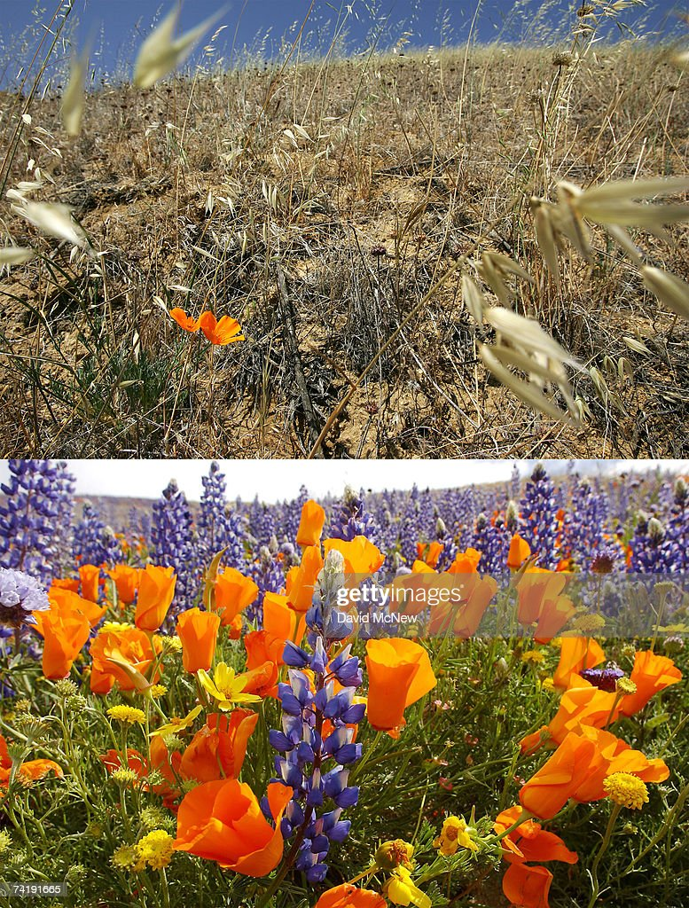 In this composite image, two California poppies bloom in a desiccated field (top) on May 18, 2007 near Gorman, California, 60 miles north of Los Angeles, in stark contrast to a dramatic bloom of thigh-high wildflowers blanketing the landscape in the photo (bottom) taken on April 28, 2003. The rain season in Los Angeles is shaping up as the driest since record-keeping began in 1872 and the region is now in an 'extreme' drought state, the second-driest ranking given by the National Drought Mitigation Center in Lincoln, Nebraska. Bark beetle infestations induced by overgrowth from the second-wettest winter on record two years ago have killed untold thousands of pines in the mountain areas. Fire officials say that conditions are right for wildfires of disastrous proportions and frequency in southern California this year.