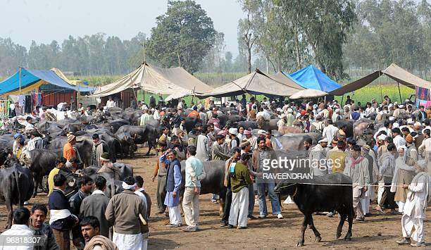 In this February 13 2010 photograph Indian farmers hawk buffalos for slaughter at a roadside cattle fair in Muzzafarnagar in Uttar Pradesh state Cows...