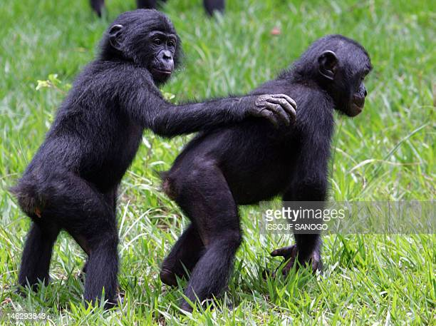 In This file picture taken on November 4 2006 in the 'Lola ya bonobo' parc near Kinshasa young bonobo's play together Scientists said on June 13 2012...