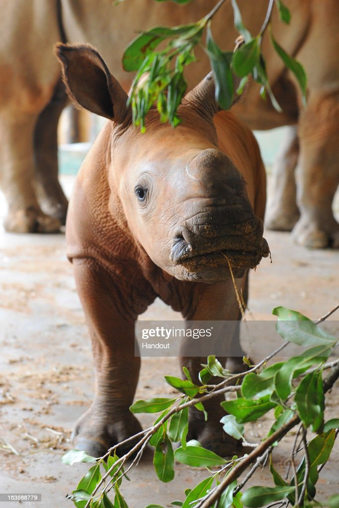 In this hadnout image provided by Australia Zoo, A month old baby rhino, named Mango' is seen at Australia Zoo, on March 12, 2013 in Beerwah, Australia. Mango was born on February 7, 2013 and weighed between 40-50kg at birth, and was named via a Facebook competition.