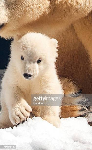 In this handout image provided by Sea World Gold Coast Australia Liya and her baby Polar bear are seen at Sea World Gold Coast Australia on August 22...