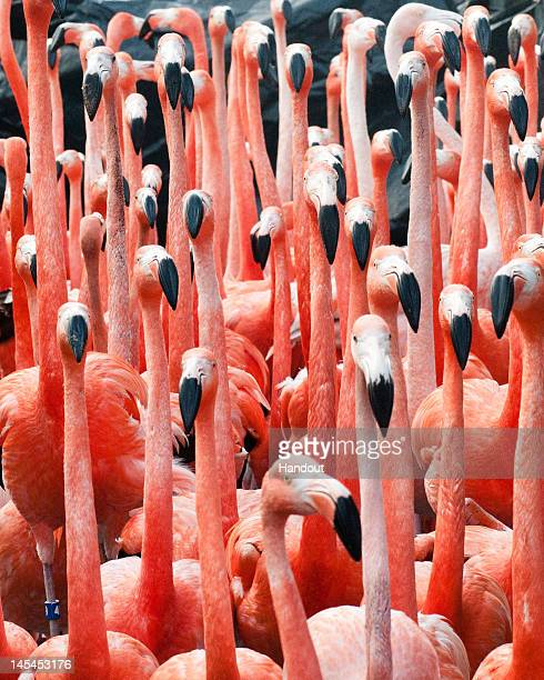 In this handout image provided by SeaWorld San Diego a flock of Caribbean flamingos make their way to their exhibit at SeaWorld San Diego as part of...