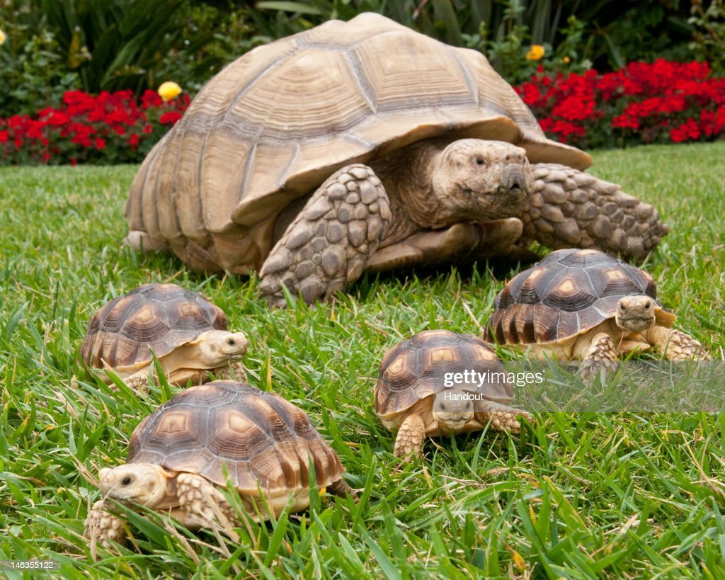 In this handout image provided by SeaWorld San Diego, five African-spurred tortoises, also known as sulcata tortoises, enjoy time on the grass at SeaWorld San Diego June 14, 2012 in San Diego, California. The adult, named Buster, is about 20 years old, and the young ones are just under a year old. Sulcata tortoises are native to northern Africa and can live to be 100. Sulcata tortoises are common in pet stores, but are often relinquished by their pet owners, who aren't prepared for how big they get (they can weigh up to 150 pounds). SeaWorld guests can see Buster and friends near SeaWorld San Diego's Animal Connections area.