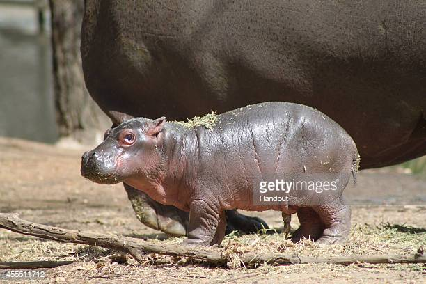 In this handout image provided by Taronga Western Plains Zoo a baby Hippo calf and it's mother 'Cuddles' are seen at Taronga Western Plains Zoo on...