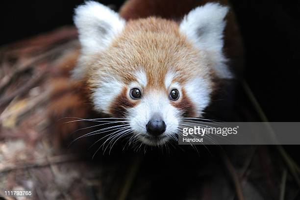 In this handout image provided by Taronga Zoo Seba a baby Red Panda explores his new home at Taronga Zoo on April 7 2011 in Sydney Australia The Red...