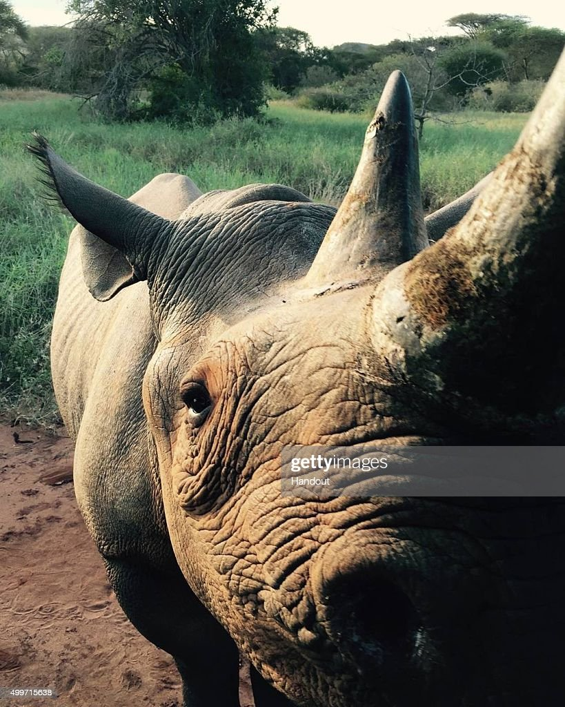 In this handout image released by Kensington Palace via Instagram on December 2, 2015, a female black rhino called Zawadi, who was relocated from a Kent sanctuary three years ago, is pictured at her new sanctuary in Tanzania. Prince Harry is visiting South Africa as part of a Royal Tour that has included the Opening of a new Charity Centre for children in Lesotho (Sentebale's Mamohato Children's Centre) and includes stops in Durban, Cape Town, Kruger National Park and Johannesburg.