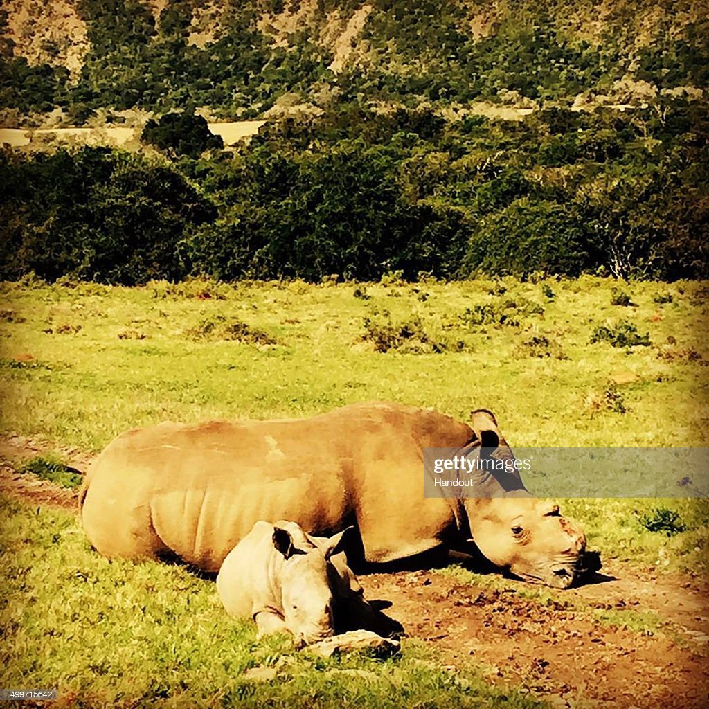 In this handout image released by Kensington Palace via Instagram on December 2, 2015, a female rhino, Thandi, who had her horn hacked off by poachers in 2012 is pictured with her baby calf, Thembi, at Kruger National Park, South Africa. Prince Harry is visiting South Africa as part of a Royal Tour that has included the Opening of a new Charity Centre for children in Lesotho (Sentebale's Mamohato Children's Centre) and includes stops in Durban, Cape Town, Kruger National Park and Johannesburg.