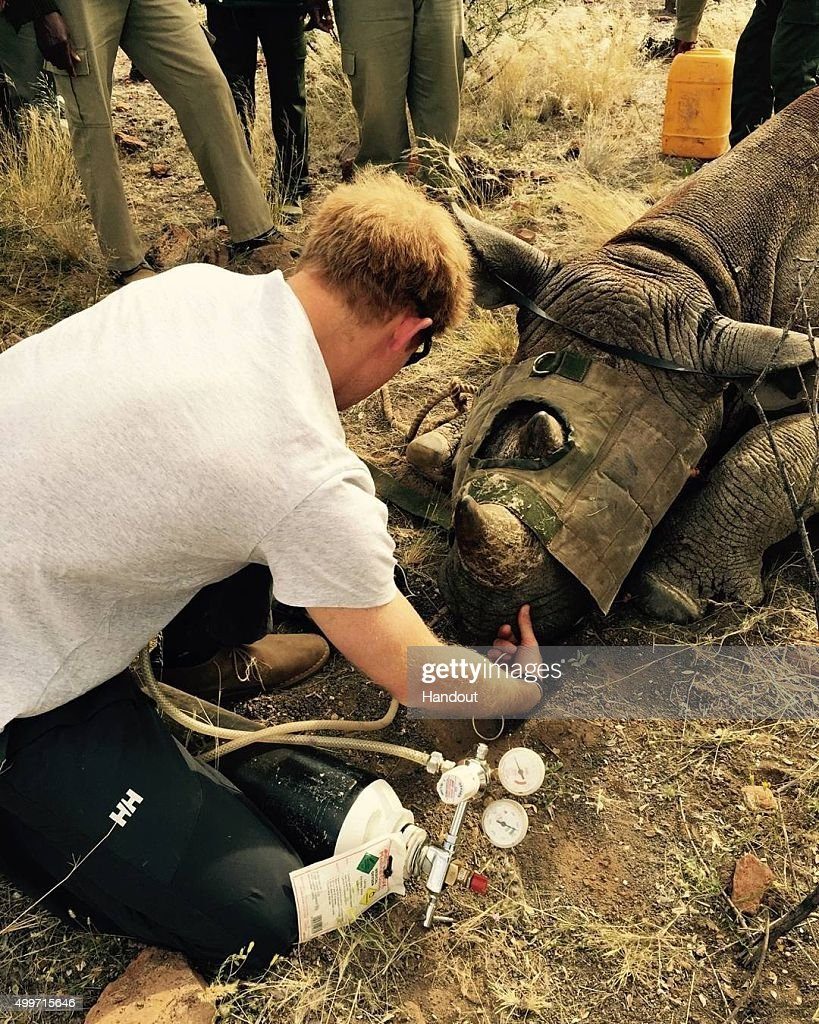 In this handout image released by Kensington Palace via Instagram on December 2, 2015, Prince Harry assists during a de-horning operation with the Save the Rhino Trust in order to deter poachers in Namibia. Prince Harry is visiting South Africa as part of a Royal Tour that has included the Opening of a new Charity Centre for children in Lesotho (Sentebale's Mamohato Children's Centre) and includes stops in Durban, Cape Town, Kruger National Park and Johannesburg.