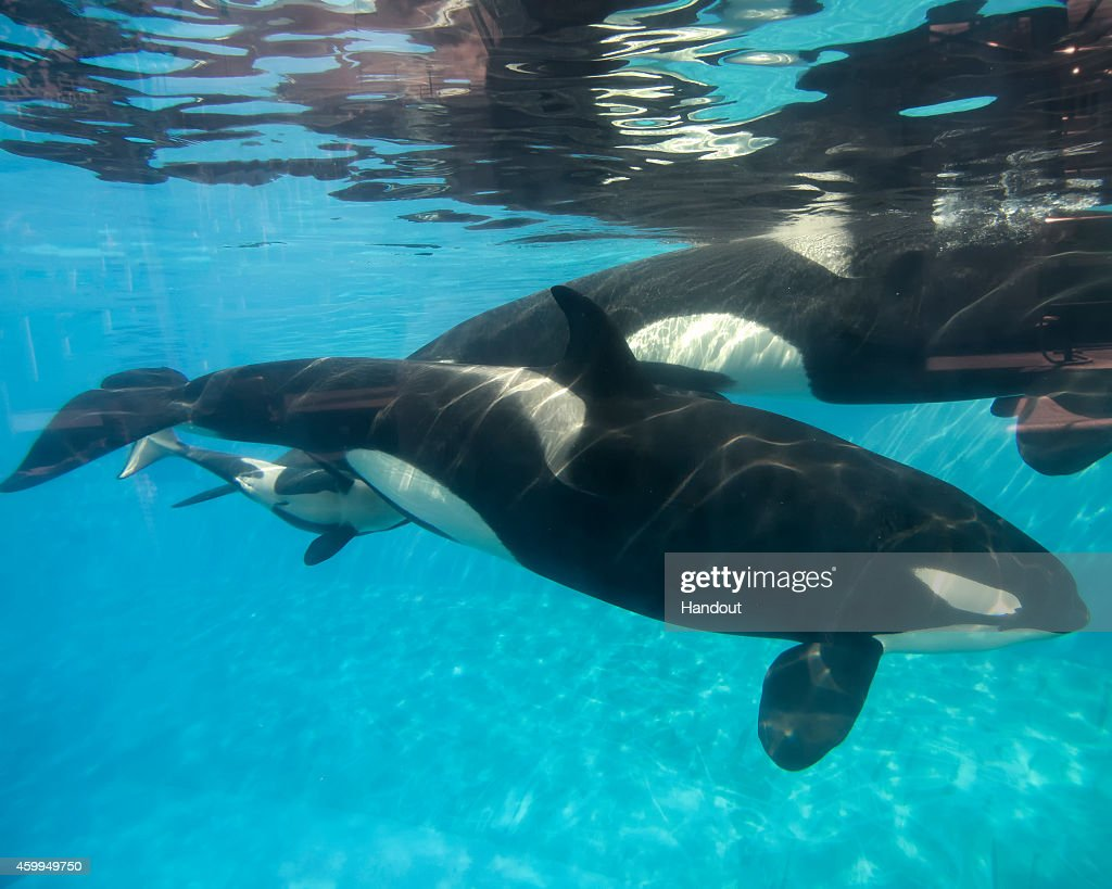 In this handout photo provided by SeaWorld San Diego a baby killer whale calf nurses from its mother Kalia at SeaWorld San Diego's Shamu Stadium...