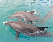 In this handout photo provided by SeaWorld San Diego a bottlenose dolphin was born at SeaWorld San Diego at 1233 pm in a behindthescenes pool...