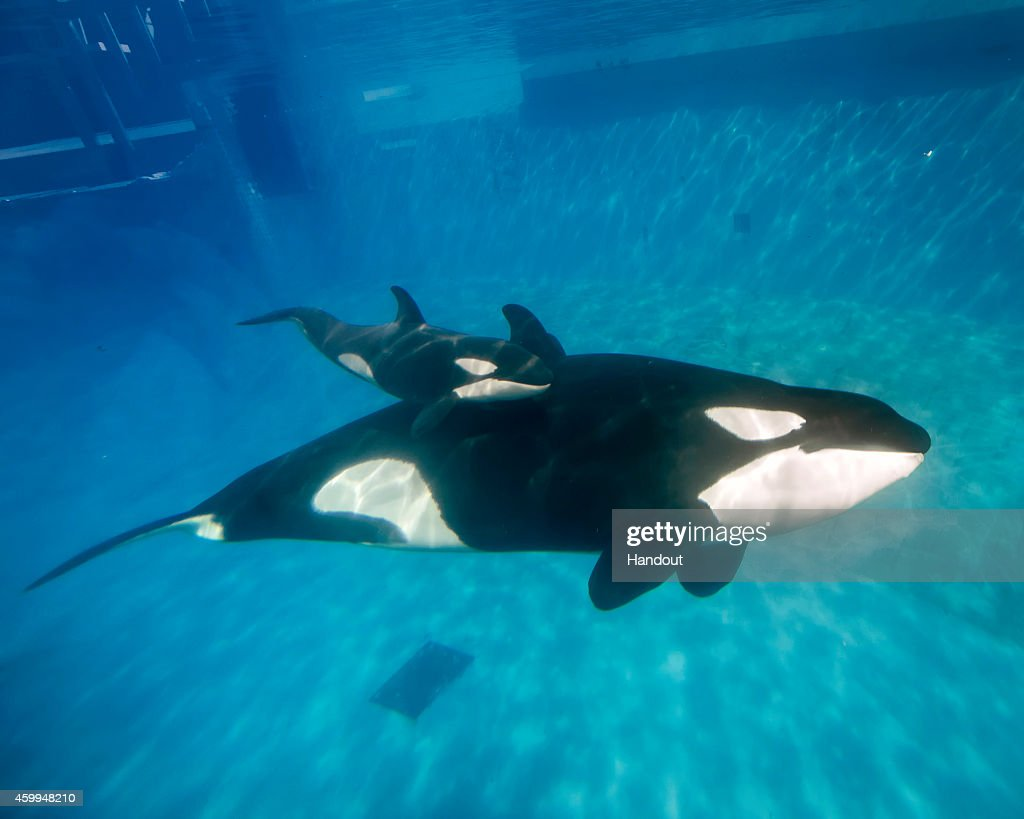 In this handout photo provided by SeaWorld San Diego mom and baby killer whale swim together at SeaWorld San Diego's Shamu Stadium December 4 2014 in...