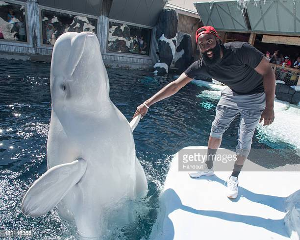 In this handout photo provided by SeaWorld San Diego NBA superstar James Harden meets Klondike a 12yearold male beluga whale at SeaWorld San Diego's...
