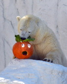In this handout photo provided by SeaWorld San Diego Oh no Ms Polar Bear Snowflake a 17yearold female polar bear at SeaWorld San Diego gets head...