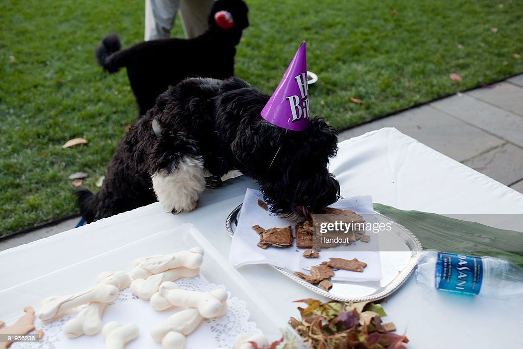 In this handout photo provided by The White House, Cappy, the brother of Obama family dog, Bo, eats treats at a birthday celebration for Bo in the Rose Garden of the White House October 9, 2009 in Washington, D.C.