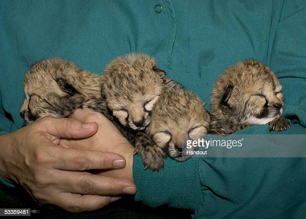 In this handout photo provided by Zoological Society of San Diego four two days old cheetah cubs snuggle in a keeper's arms after receiving their...
