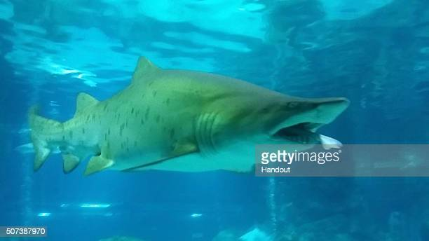 In this handout photo released by the COEX Aquarium Sand tiger shark with a Banded hound shark in its mouth at COEX Aquarium on January 29 2016 in...