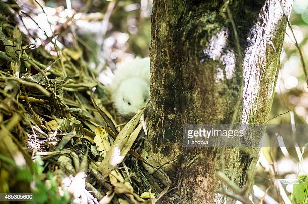In this handout provided by Jet Productions NZ Limited One of the new white kiwi chicks is seen at Pukaha Mt Bruce National Wildlife Reserve on March...
