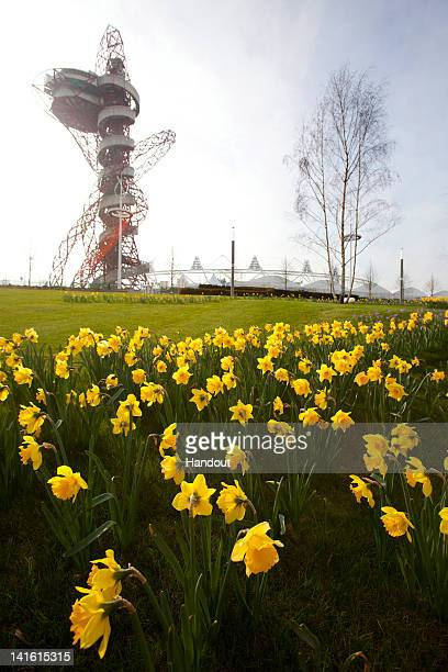 In this handout provided by the Olympic Delivery Authority Spring has sprung in the London 2012 Olympic Park as gardens of golden daffodils have...