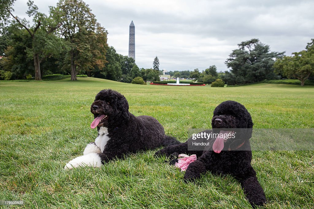 In this handout provided by the White House, Bo (L) and Sunny, the Obama family dogs, on the South Lawn of the White House on August 19, 2013 in Washington, D.C. Sunny arrived today at the White House from Michigan. She was born June 2012.