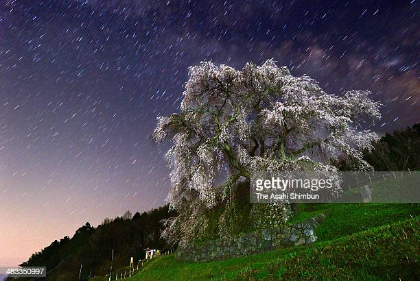 In this long exposure image the 'Matabee zakura' cherry blossom which is believed to be more than 300 years old is in full bloom on Aprul 8 2014 in...