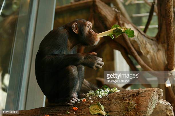 In this Marche 13 2008 file photograph Kipper enjoys his breakfast at the Lincoln Park Zoo in Chicago Illinois Kipper was transferred to the zoo...