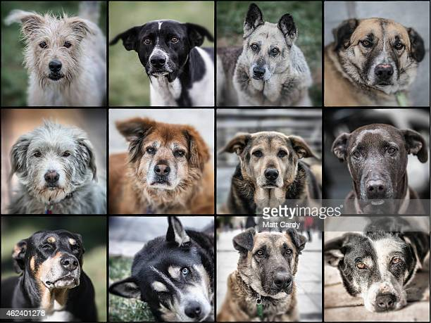 In this photo montage stray dogs are seen in the centre of Athens on January 27 2015 in Athens Greece Stray dogs are a common sight in Athens with...