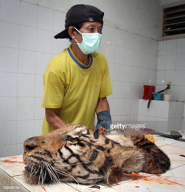 In this photo taken on August 14 2010 a zoo keeper attends to the skin of a dead Sumatran tiger in a veterinary clinic at Surabaya Zoo after it was...