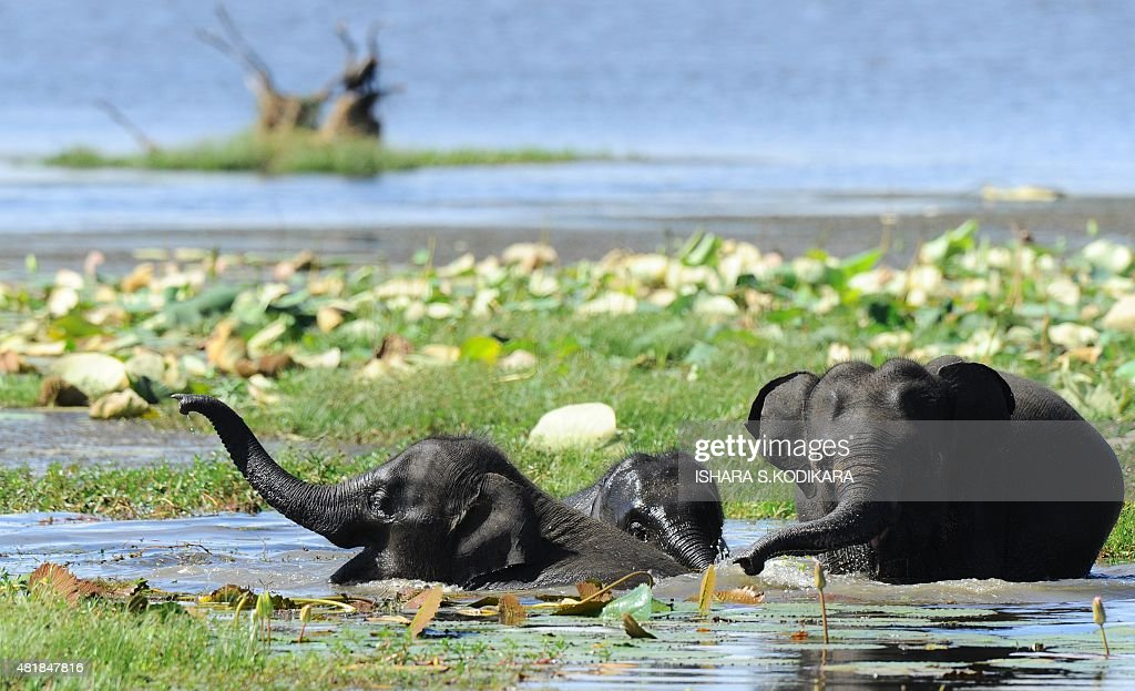 In this photo taken on July 24 Sri Lankan elephants bathes in a lake at Yala National Park in the southern district of Yala some 250kms southwest of...
