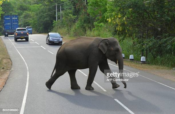 In this photo taken on June 24 a Sri Lankan elephant crosses a road in Minneriya National Park The Sri Lankan elephant is one of three recognised...